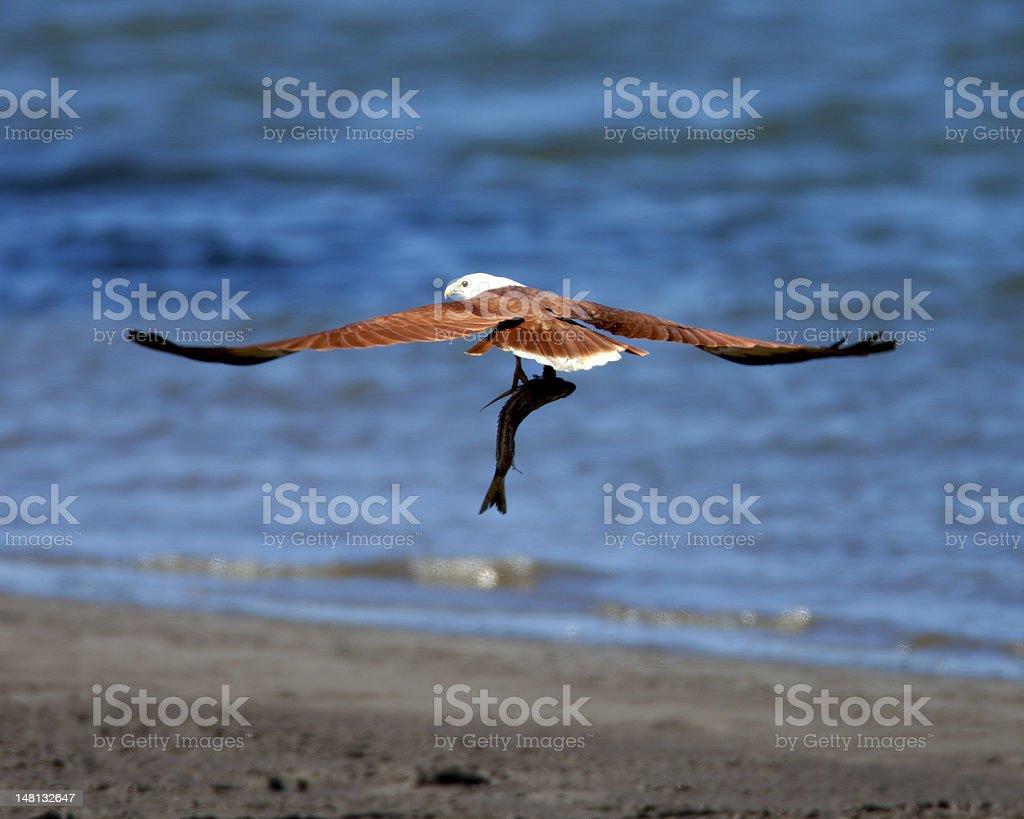Brahminy Kite. ( Haliastur indus ) Bird with Fish stock photo