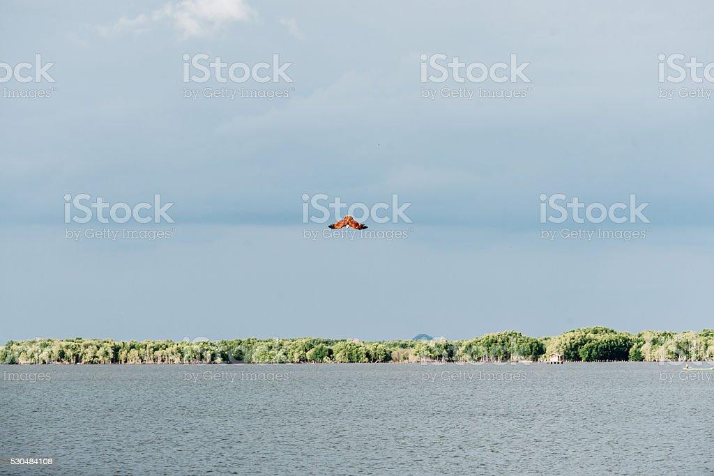 Brahminy Kite diving. stock photo