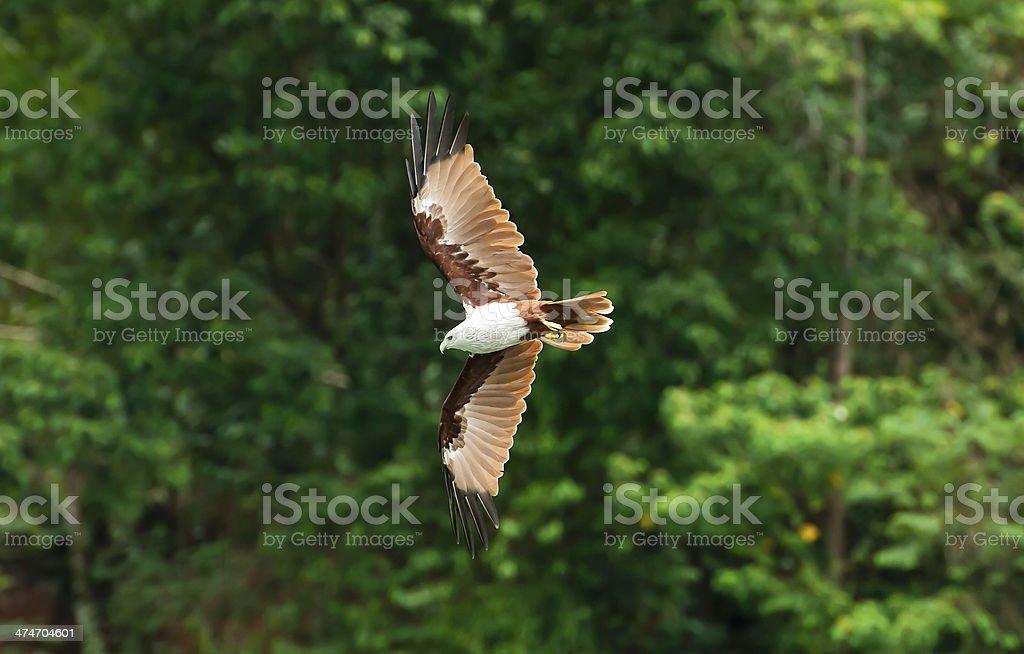 Brahminy kite  Flight stock photo