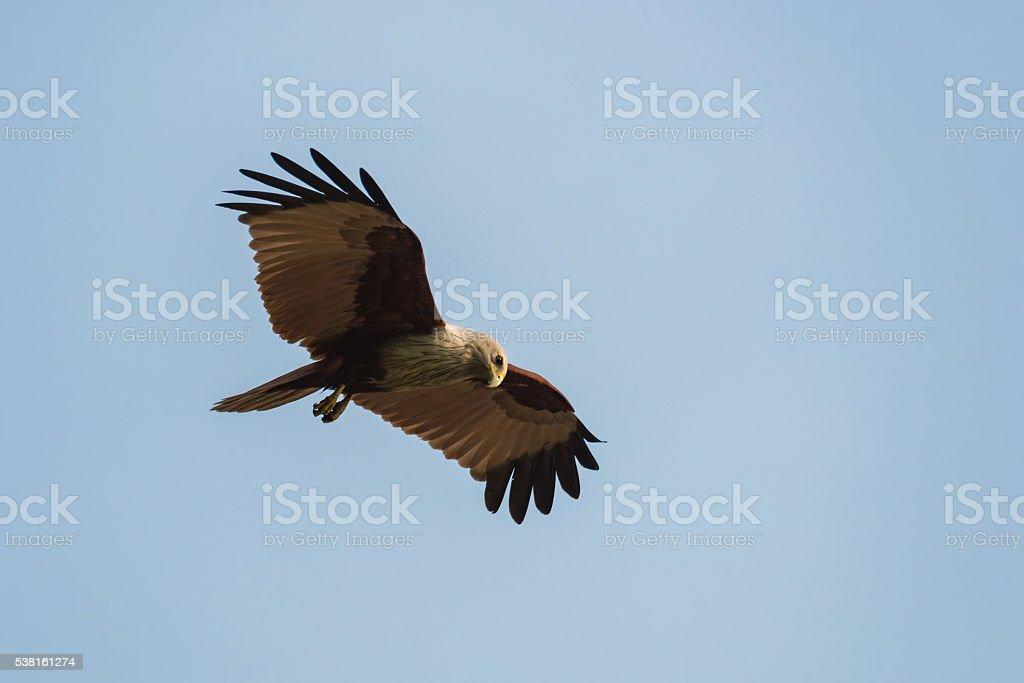 Brahminy kite fly in the blue sky. stock photo
