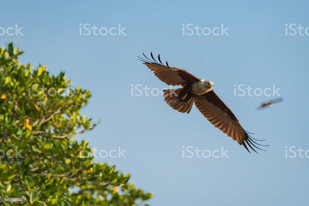 Brahminy kite fly in the blue sky. Selective Focus. stock photo