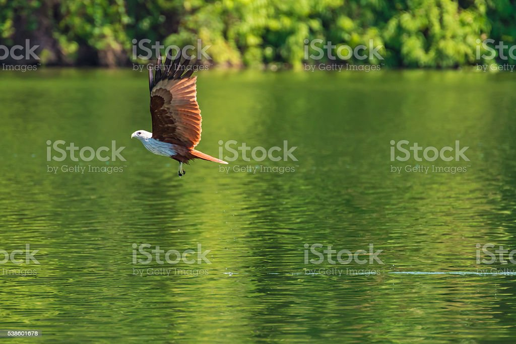 Brahminy kite flying and catching prey on water. stock photo