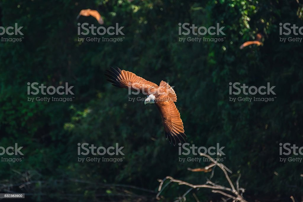 Brahminy kite flying and watching prey on water. stock photo