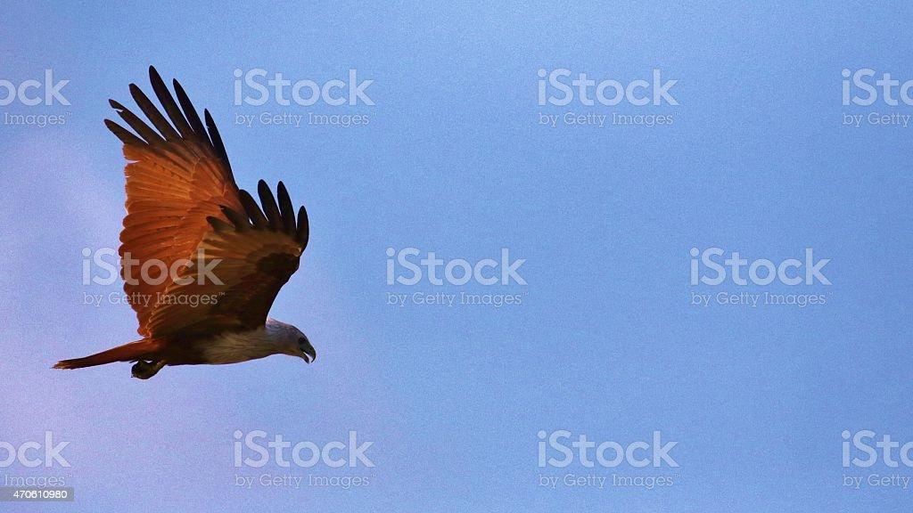 Brahminy kite , haliastur indus stock photo
