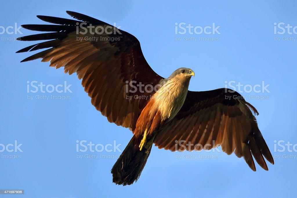 Brahminenweih hawk Lizenzfreies stock-foto