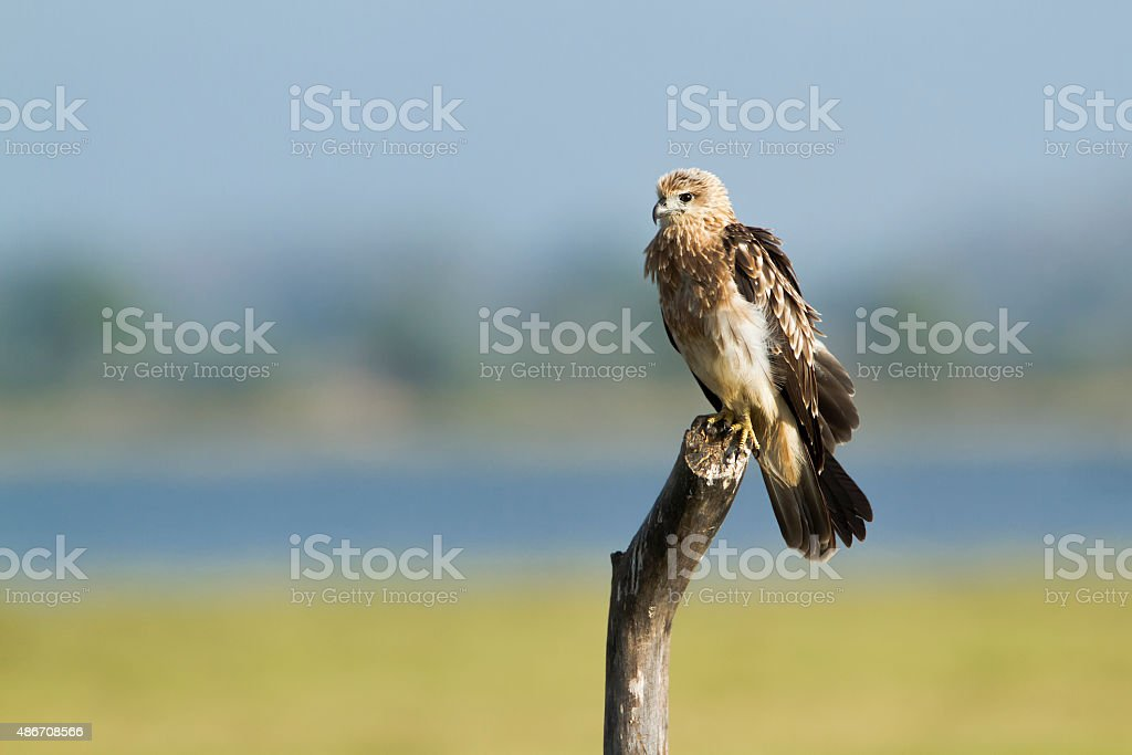 Brahminy kite immature in Arugam bay, Sri Lanka stock photo