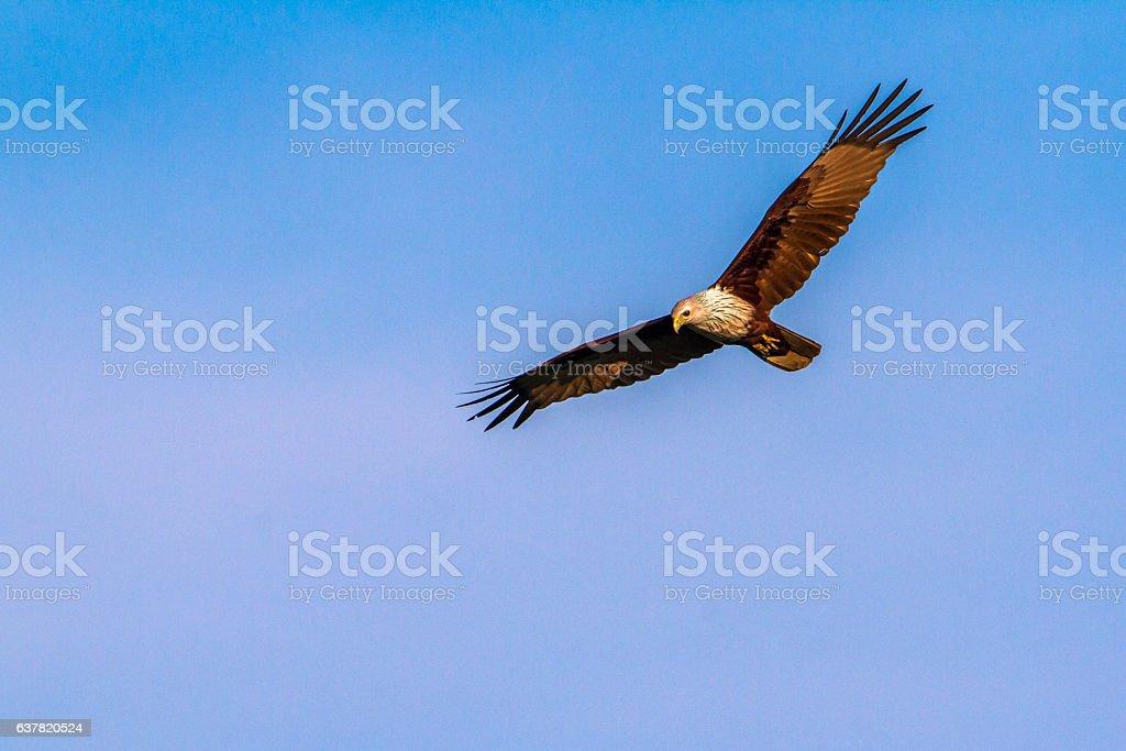 Brahminy kite in Arugam bay lagoon, Sri Lanka stock photo