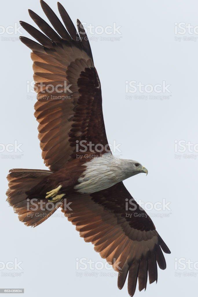 Brahminy kite stock photo