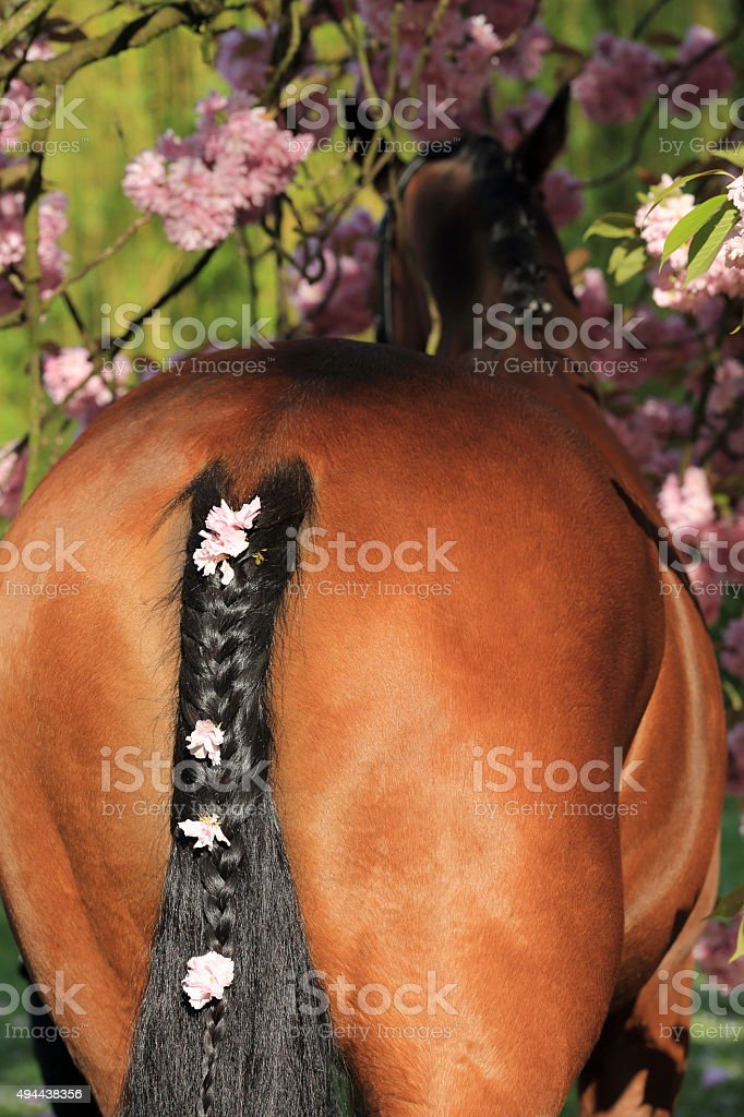 braided horse's tail with cherry blossoms stock photo