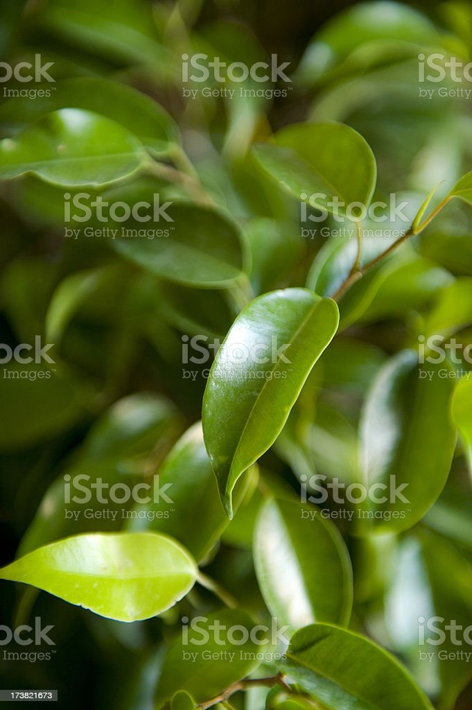 Braided Weeping Fig Tree stock photo