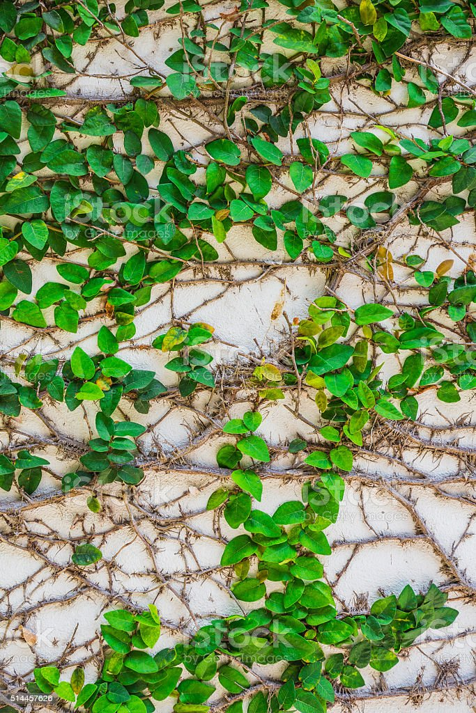 Braiding pattern of plants on the wall. stock photo