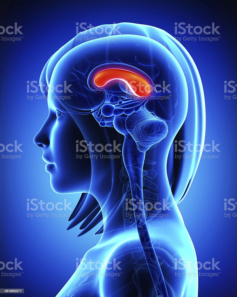 Brain Anatomy Cross Section stock photo 461850377   iStock