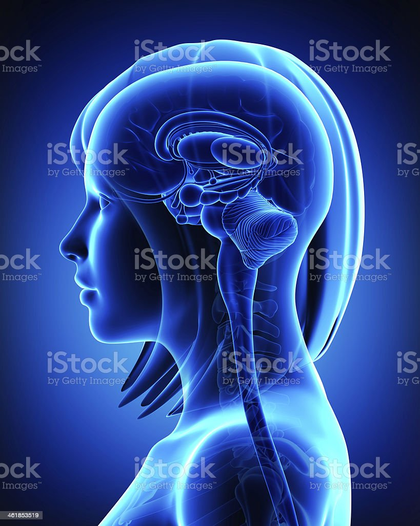 Brain anatomy - cross section stock photo