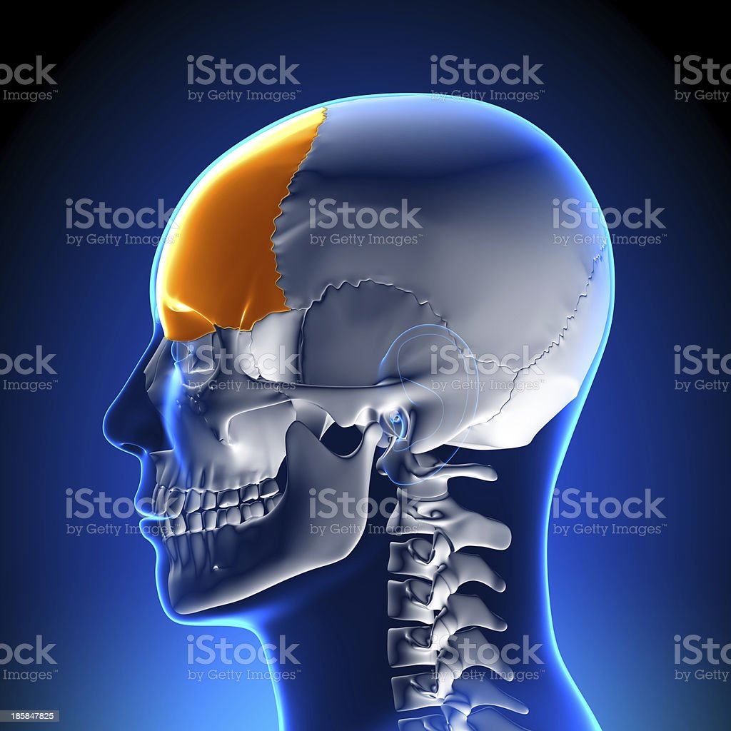 Brain Anatomy - Frontal lobe stock photo