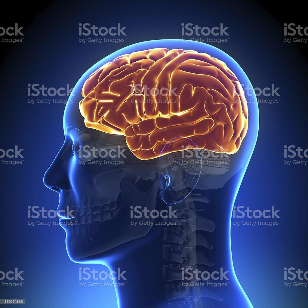 Brain Anatomy - full stock photo
