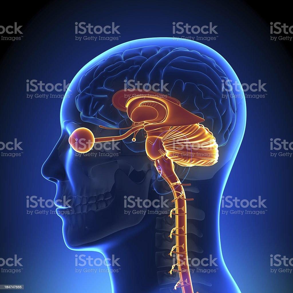 Brain Anatomy - Internal parts stock photo