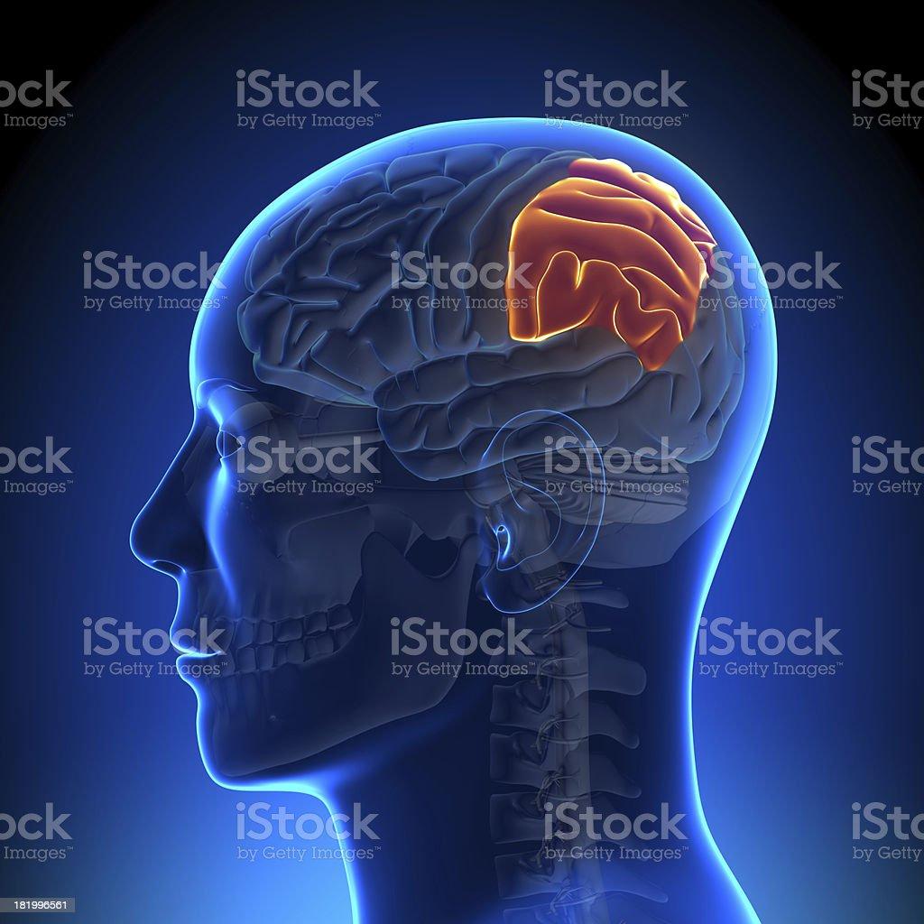 Brain Anatomy - Parietal lobe stock photo