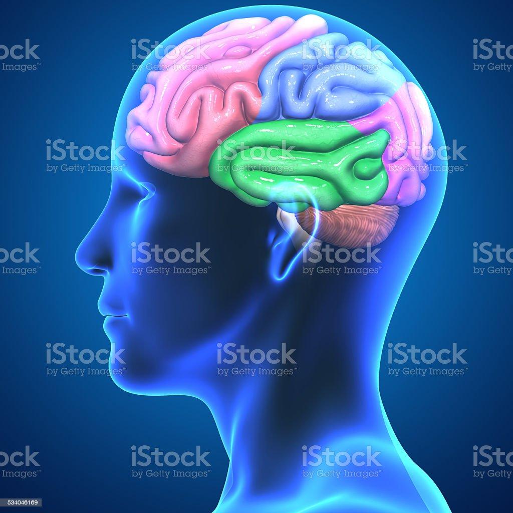 Brain anatomy stock photo