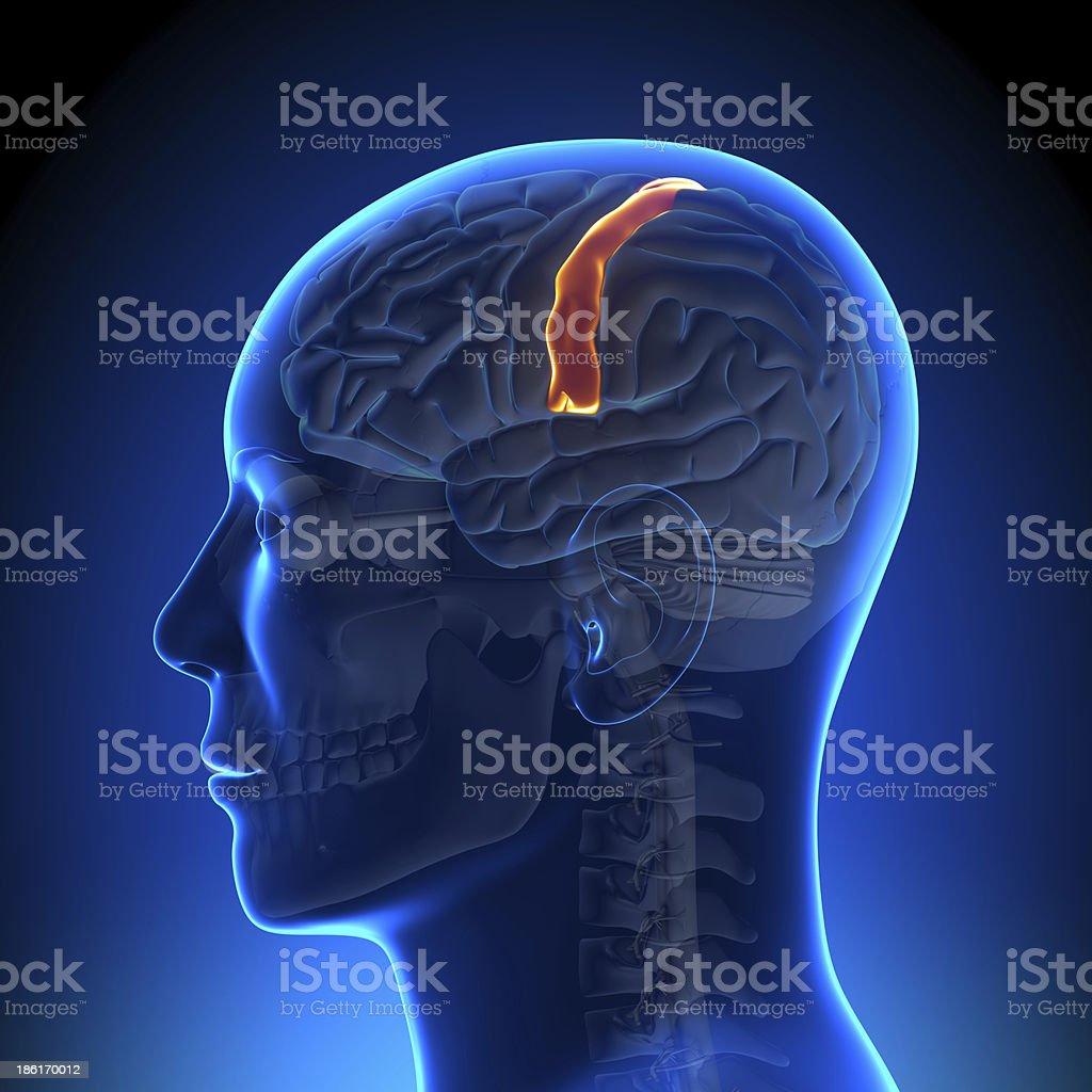 Brain Anatomy - Sensorimotor area stock photo