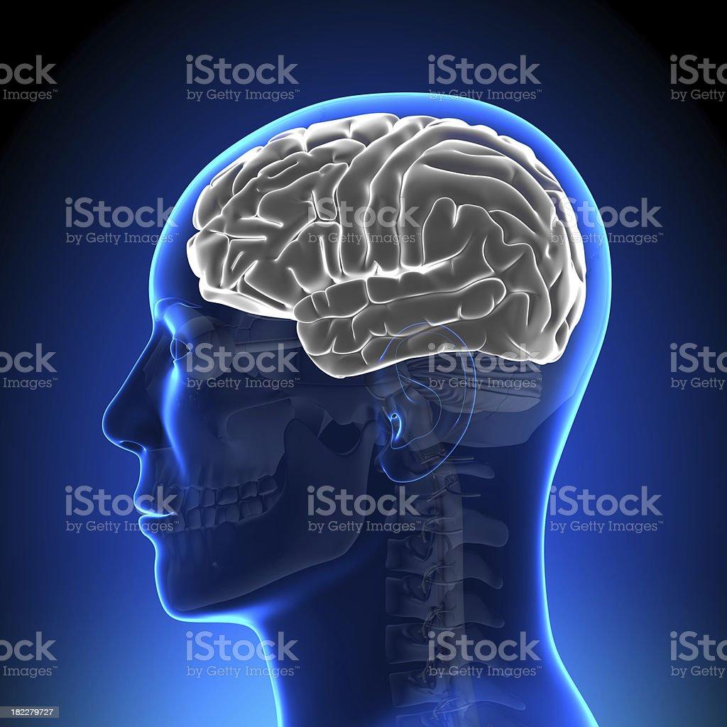 Brain Anatomy - White Blank stock photo