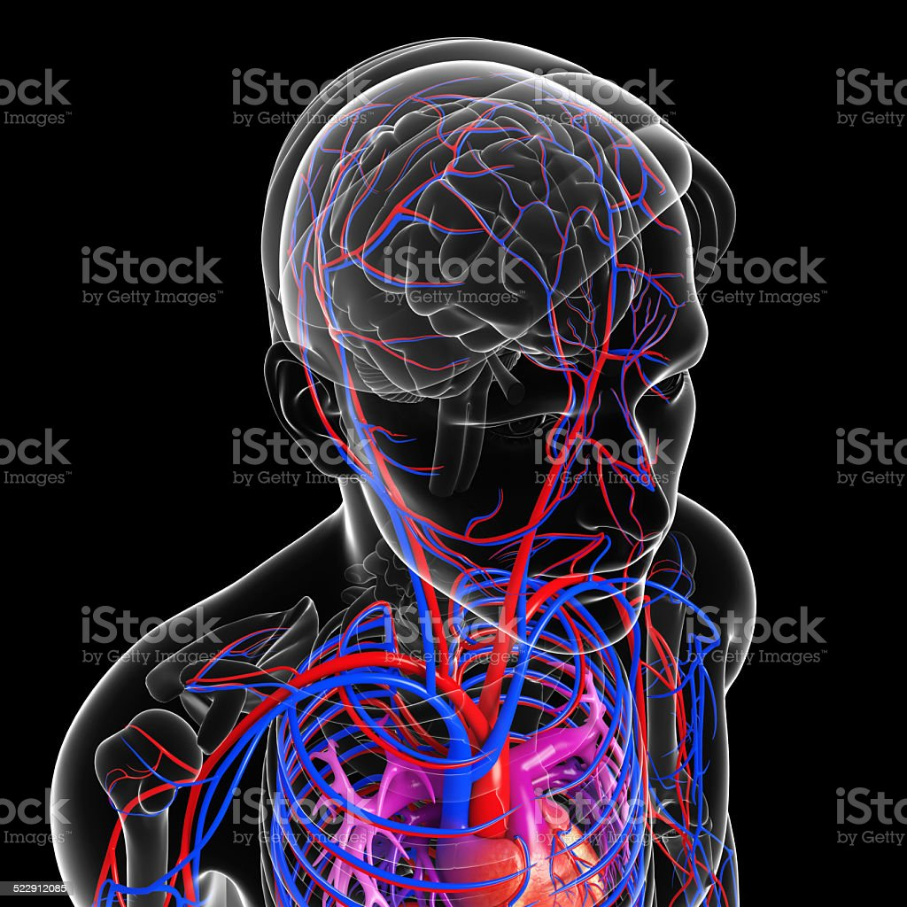 Brain circulatory system stock photo