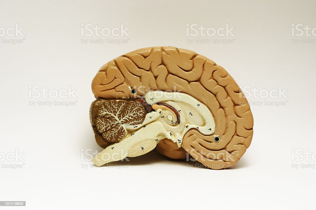 Brain Cross-sectioned. stock photo