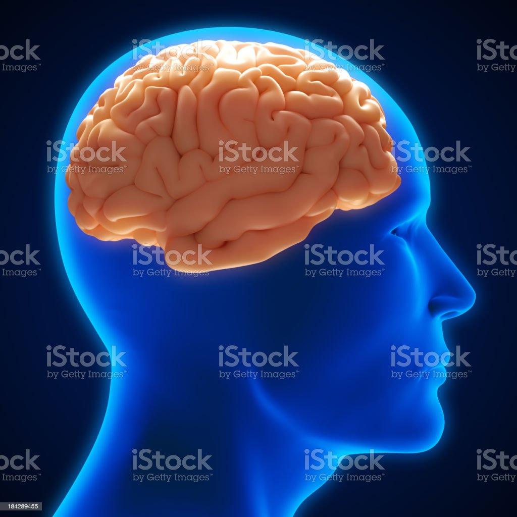 Brain inside head royalty-free stock photo