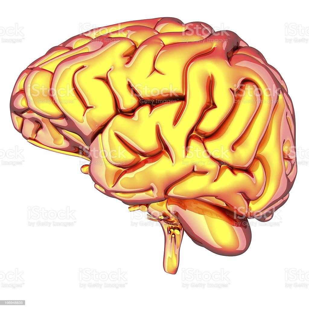 Brain isolated on white royalty-free stock photo