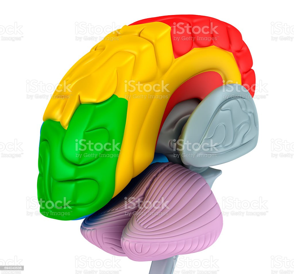 Brain lobe and cerebellum, isolated on white. stock photo
