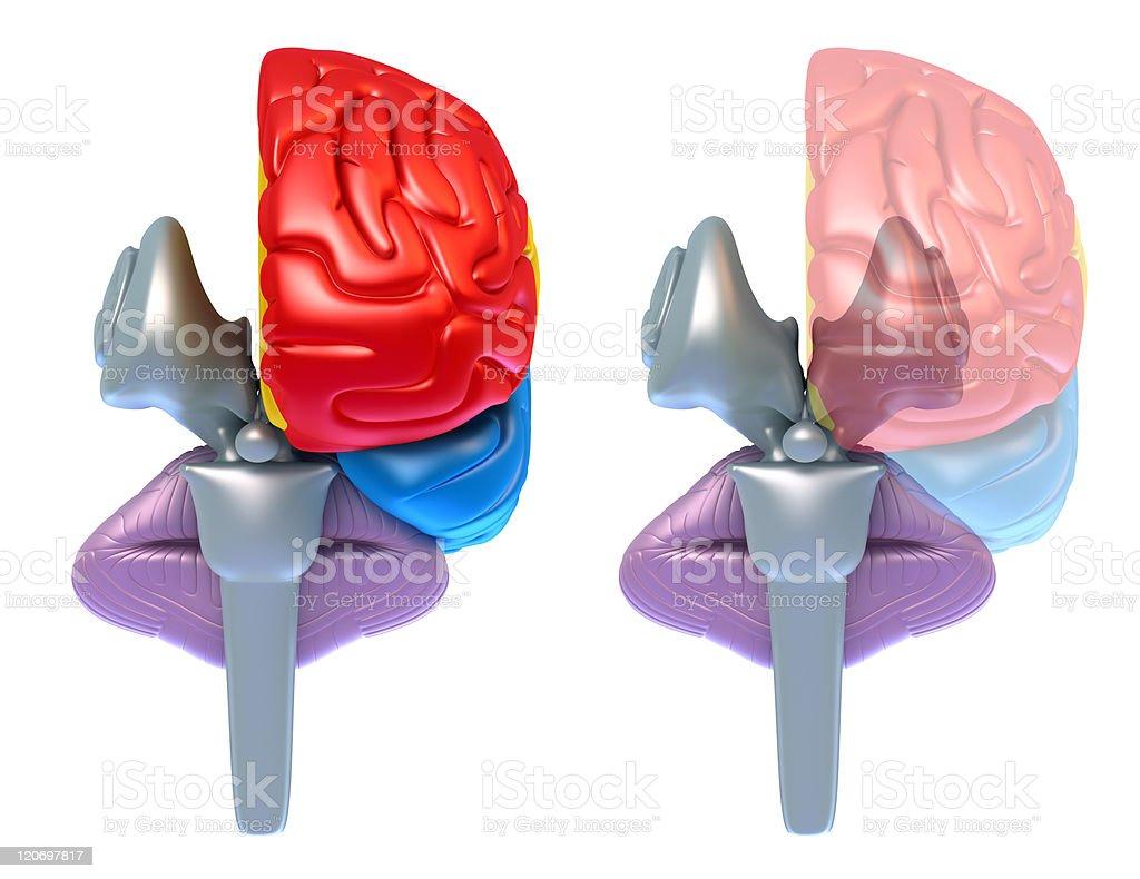 Brain lobes and cerebellum royalty-free stock photo