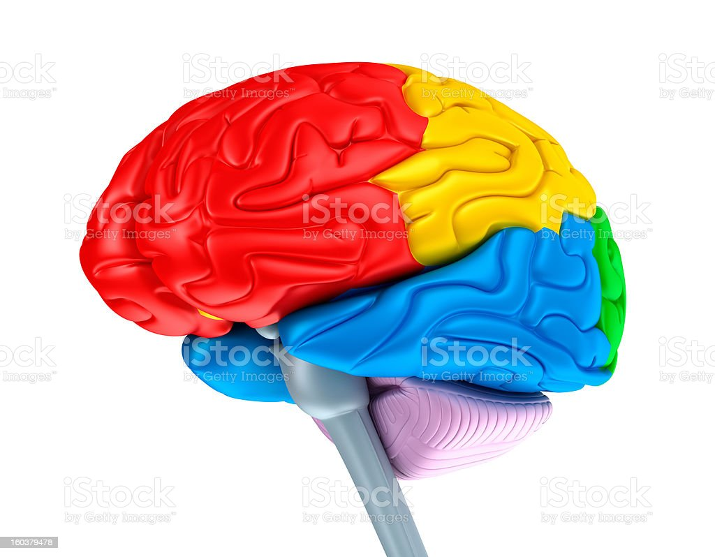Brain lobes in different colors. Isolated on white. stock photo