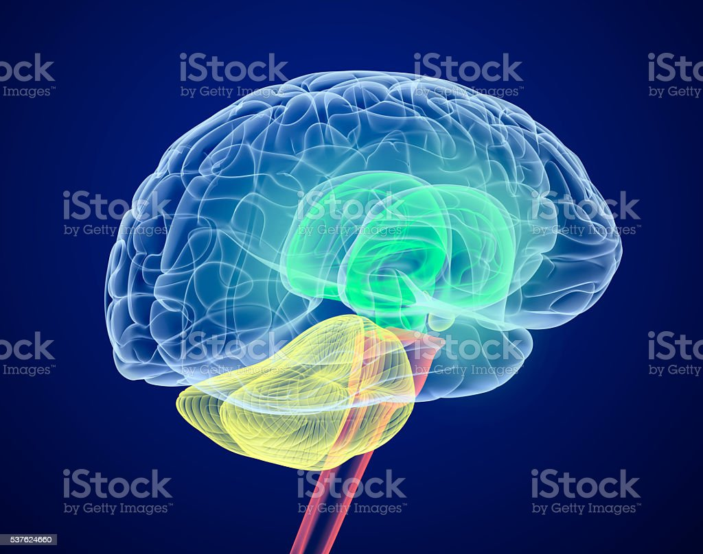 Brain lobes in different colors. X-Ray view. stock photo