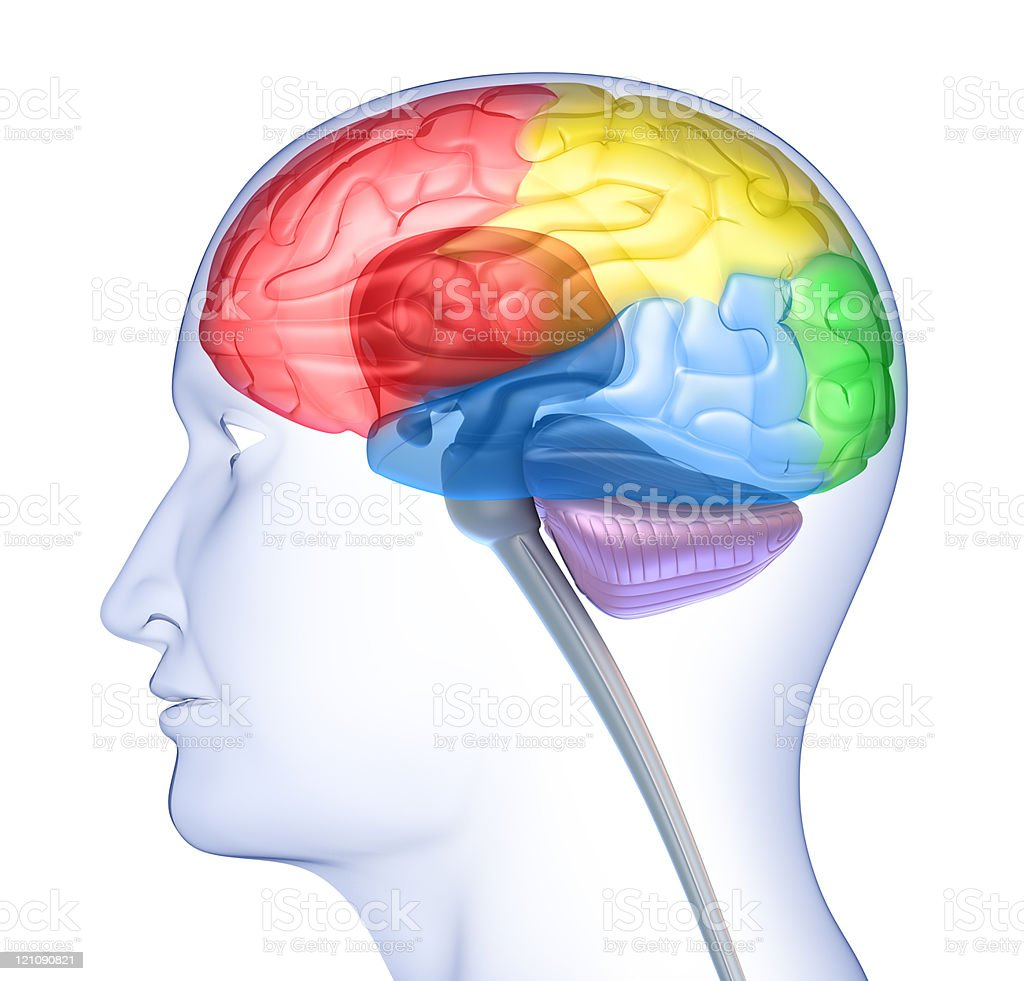 Brain lobes in head silhouette royalty-free stock photo