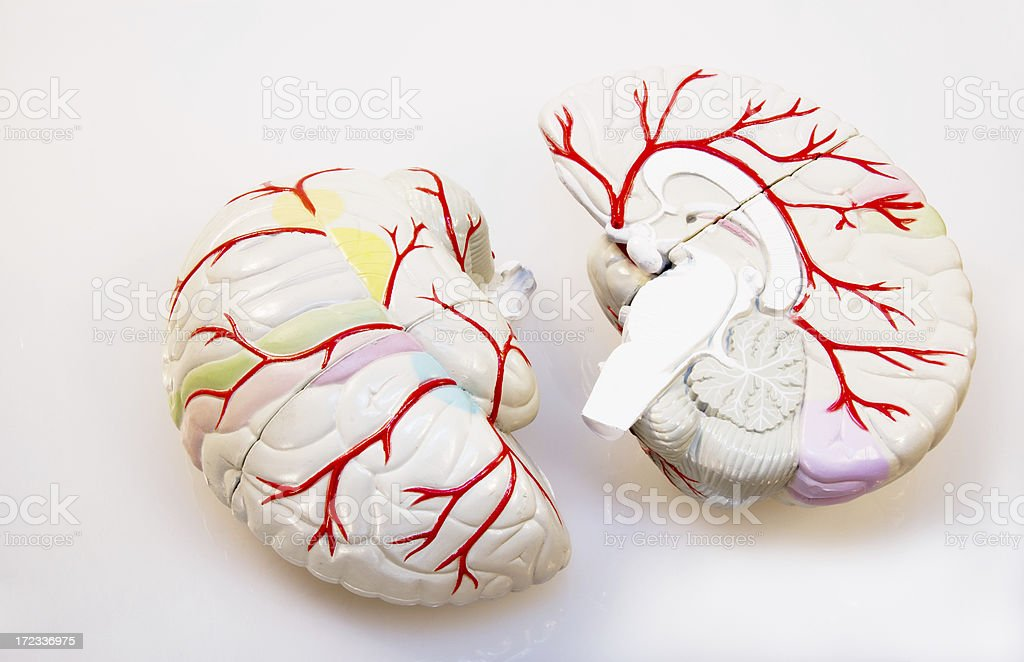 Brain Model In Two Sections With Arteries Prominent stock photo