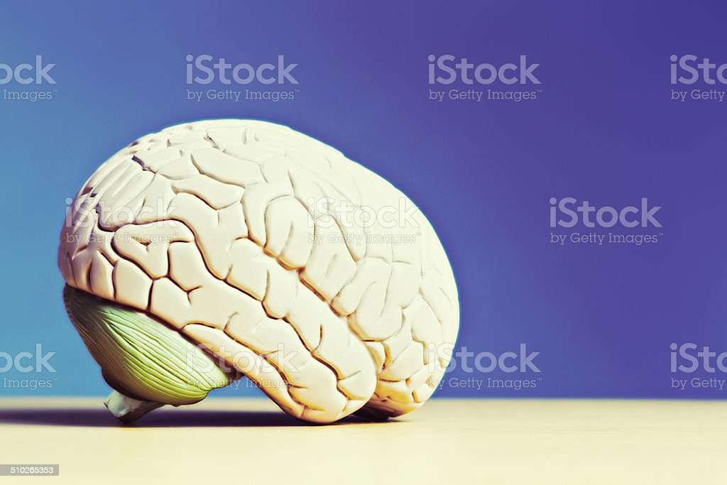 Brain on blue. Anatomical model with copy space stock photo