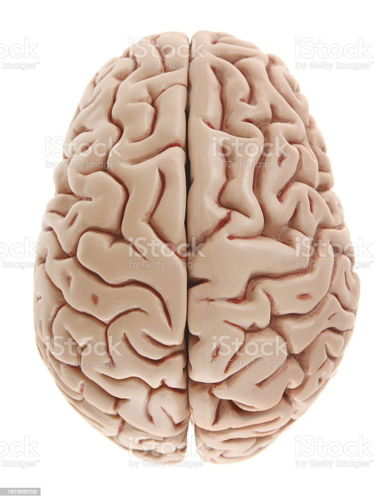 Brain on White from Above royalty-free stock photo