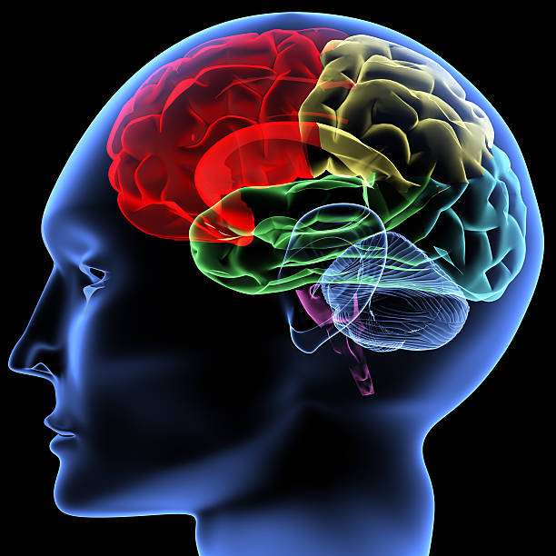 Parts Of The Human Brain Pictures Images And Stock Photos Istock