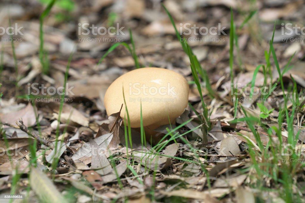 brain puffball or skull-shaped puffball stock photo