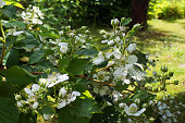 Bramble bush. White flowers of dewberry.