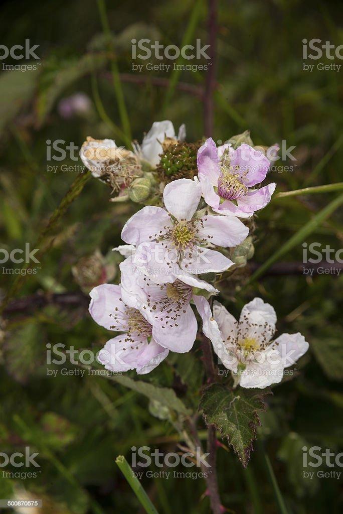 Bramble flowers royalty-free stock photo