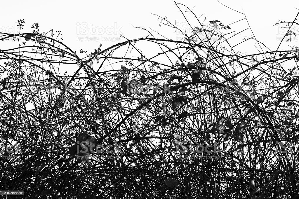 Bramble hedge stock photo