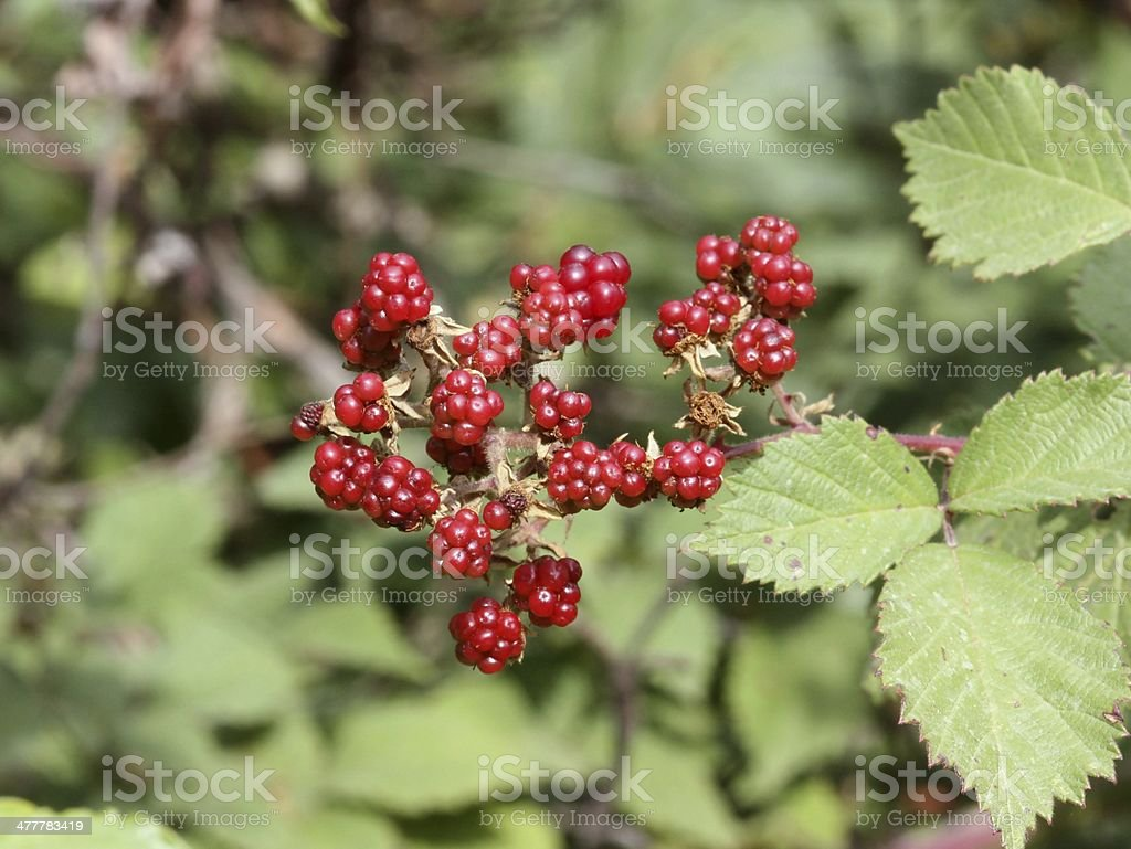 Brambleberry royalty-free stock photo