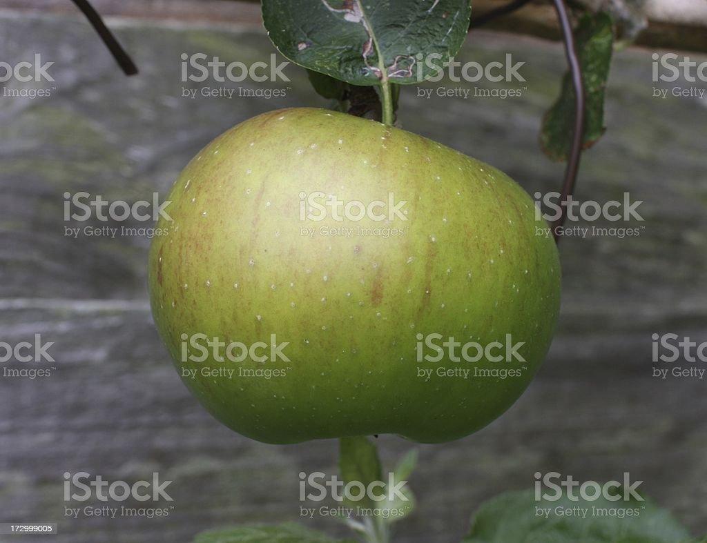 Bramley Cooking Apple stock photo