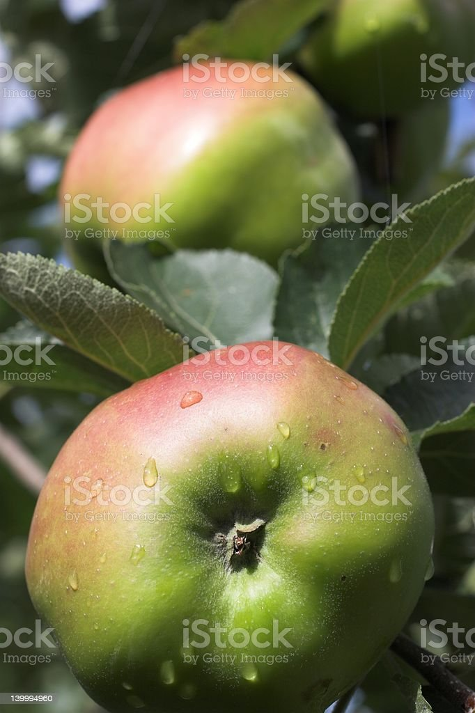 Bramley Cooking Apples stock photo