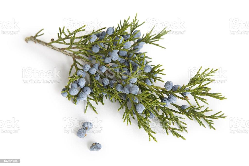 Branch and Berries  of Juniper (Cedar) Tree stock photo