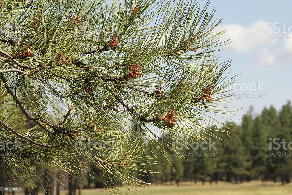 Branch Baby Pine Cones royalty-free stock photo