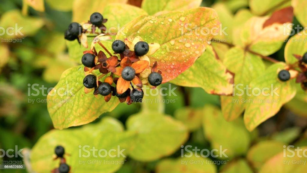 Branch black chokeberry close up. stock photo