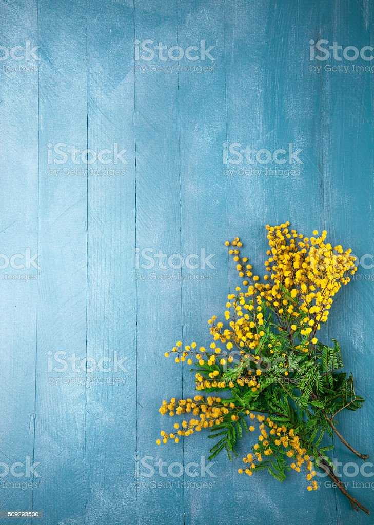 Branch blooming mimosa on blue wooden board stock photo