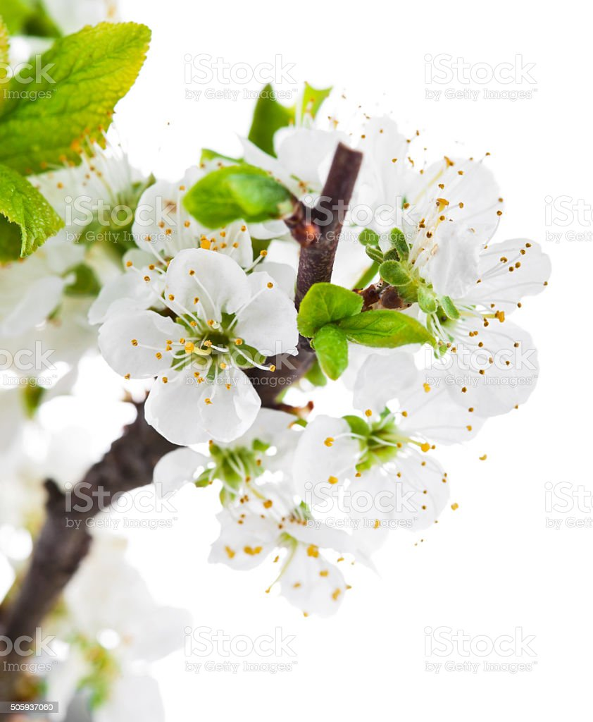 Branch blooming tree with green leaves spring still life stock photo