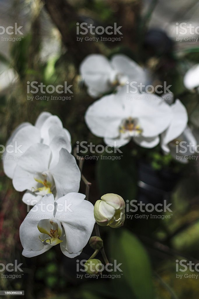 branch blossoming orchids royalty-free stock photo